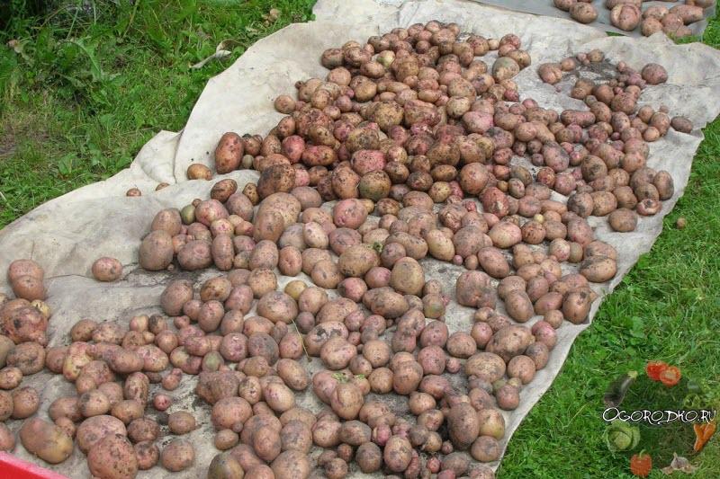 Картофель жуковский: характеристики раннего сорта, отзывы, посадка семенного, уход