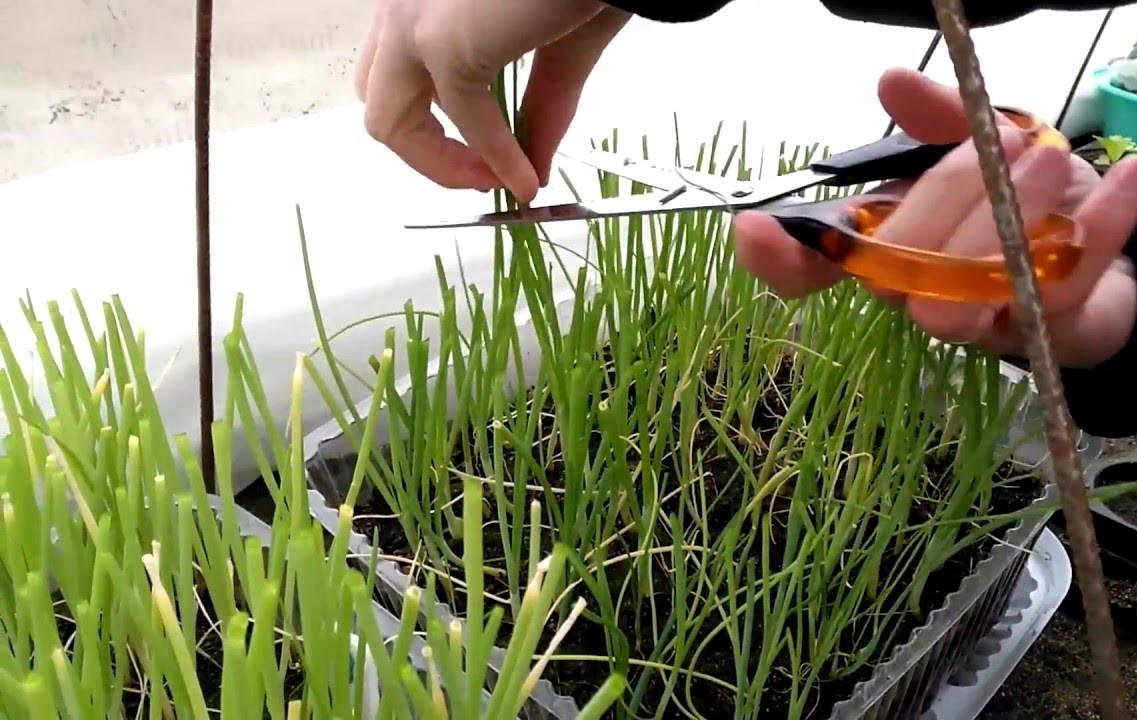 Выращивание лука: посадка и уход в открытом грунте и домашних условиях