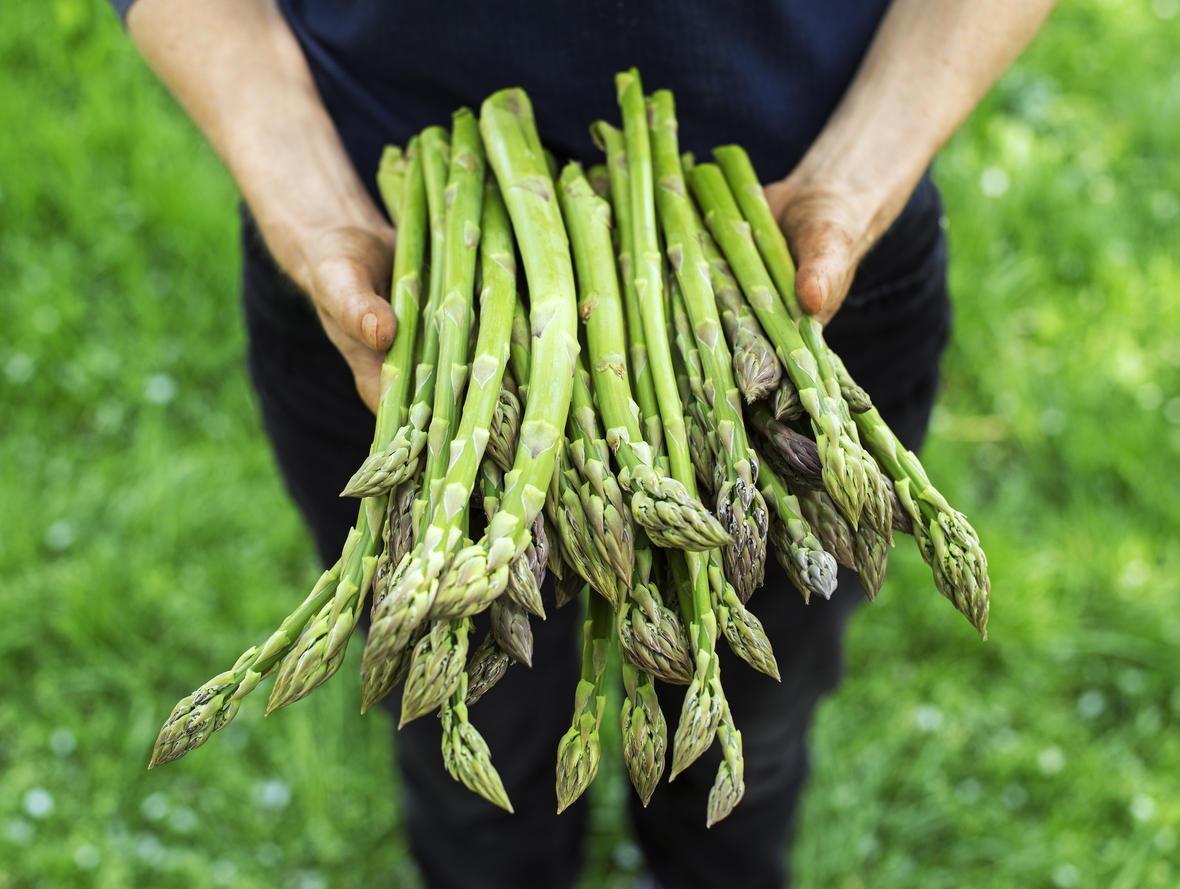 Cпаржа: выращивание из семян, посадка и уход, виды и сорта, фото