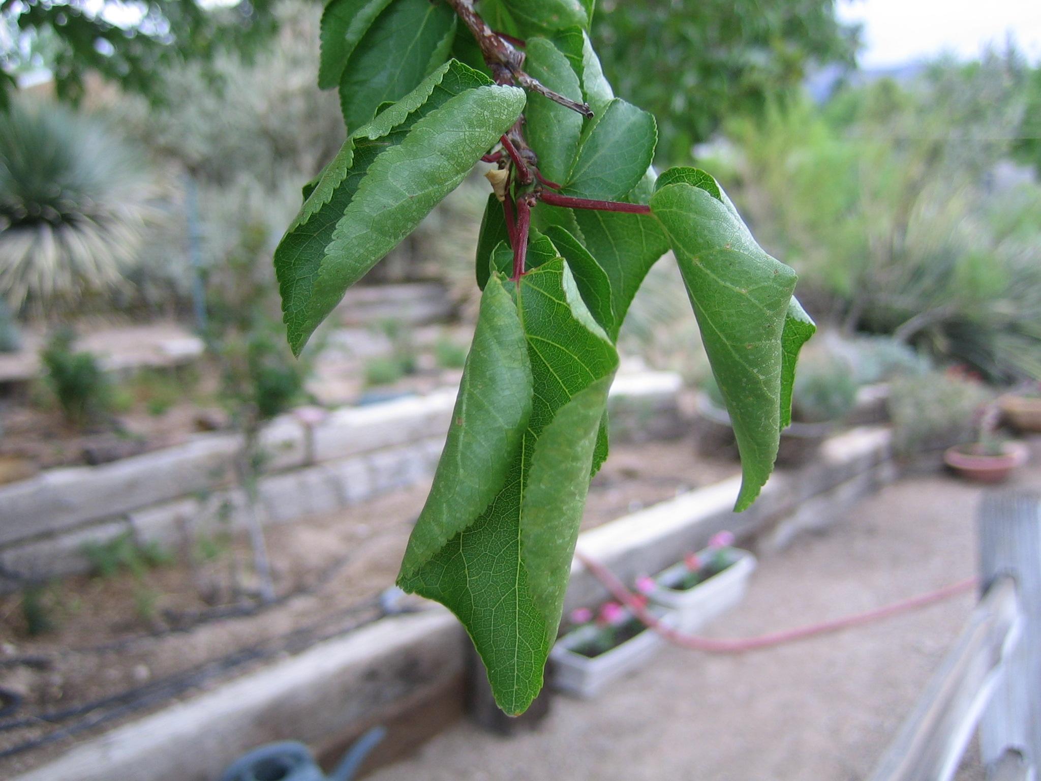 У яблони вянут листья, а потом засыхают: что делать?