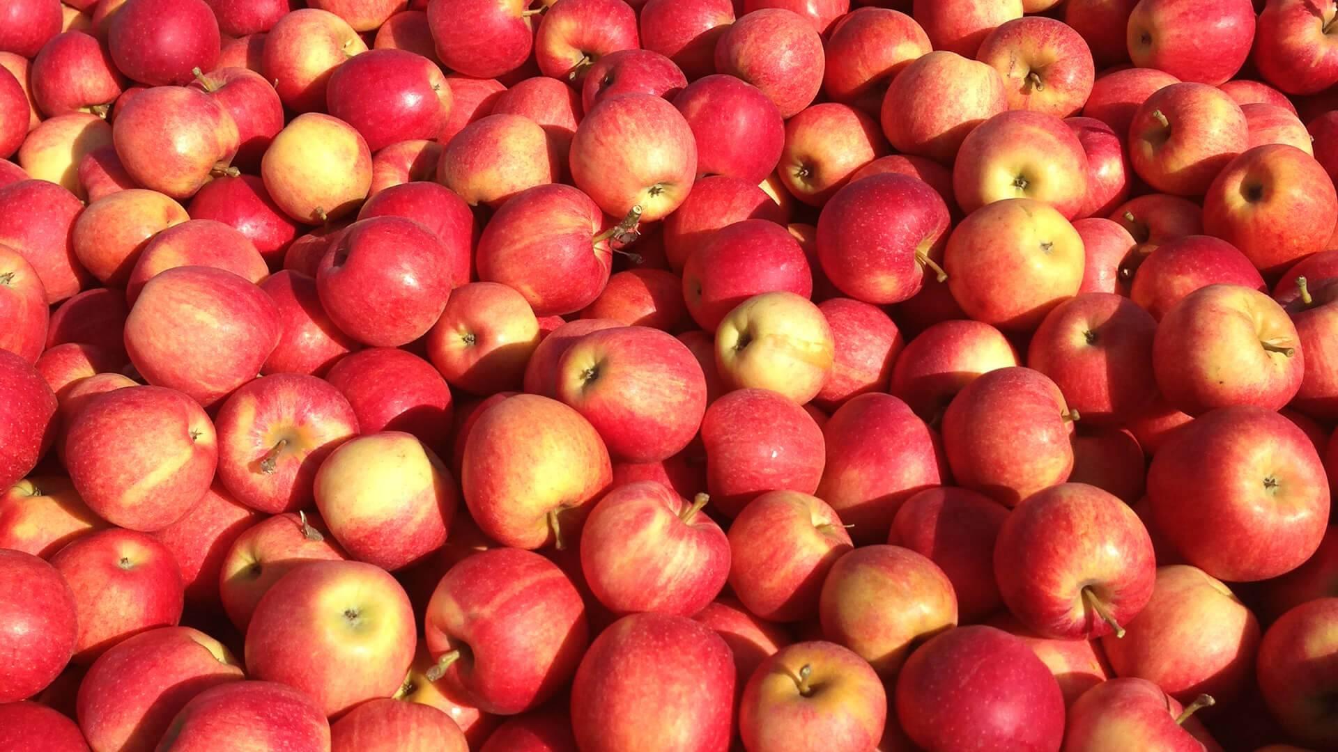 Яблоня гала: отзывы, фото, урожайность, описание позднего осеннего сорта и особенности выращивания, посадки и ухода