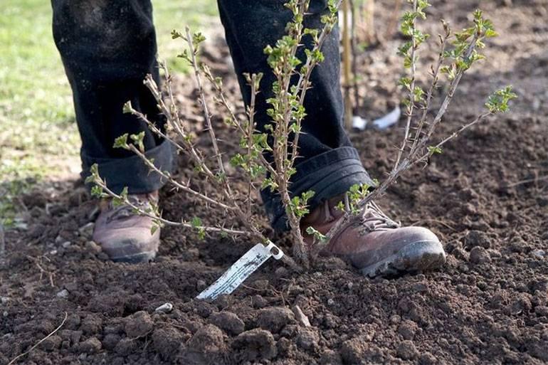 Посадка хрена и уход за ним в открытом грунте, как выращивать, уборка и хранение