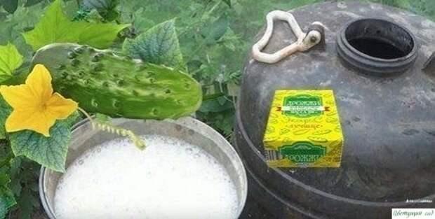 Подкормка огурцов дрожжами: рецепт, как удобрить в теплице, полив