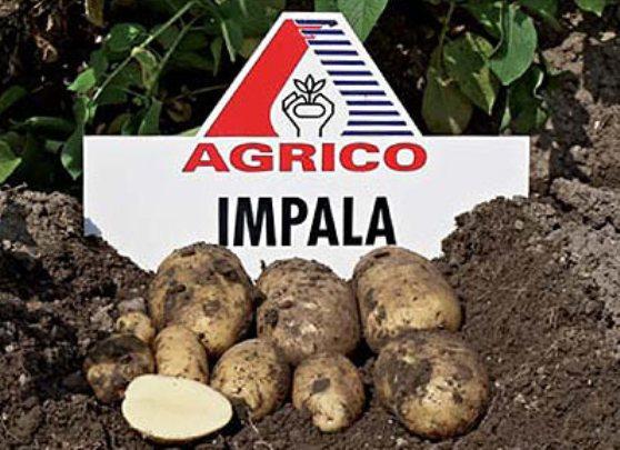 Сорт картофеля импала. описание, характеристика, фото