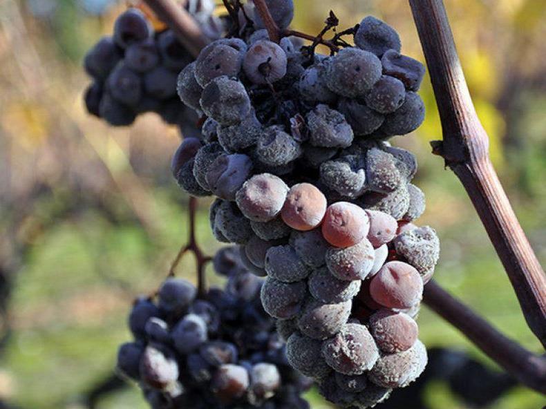 Чем болеет виноград? признаки болезней и методы их лечения | огородники