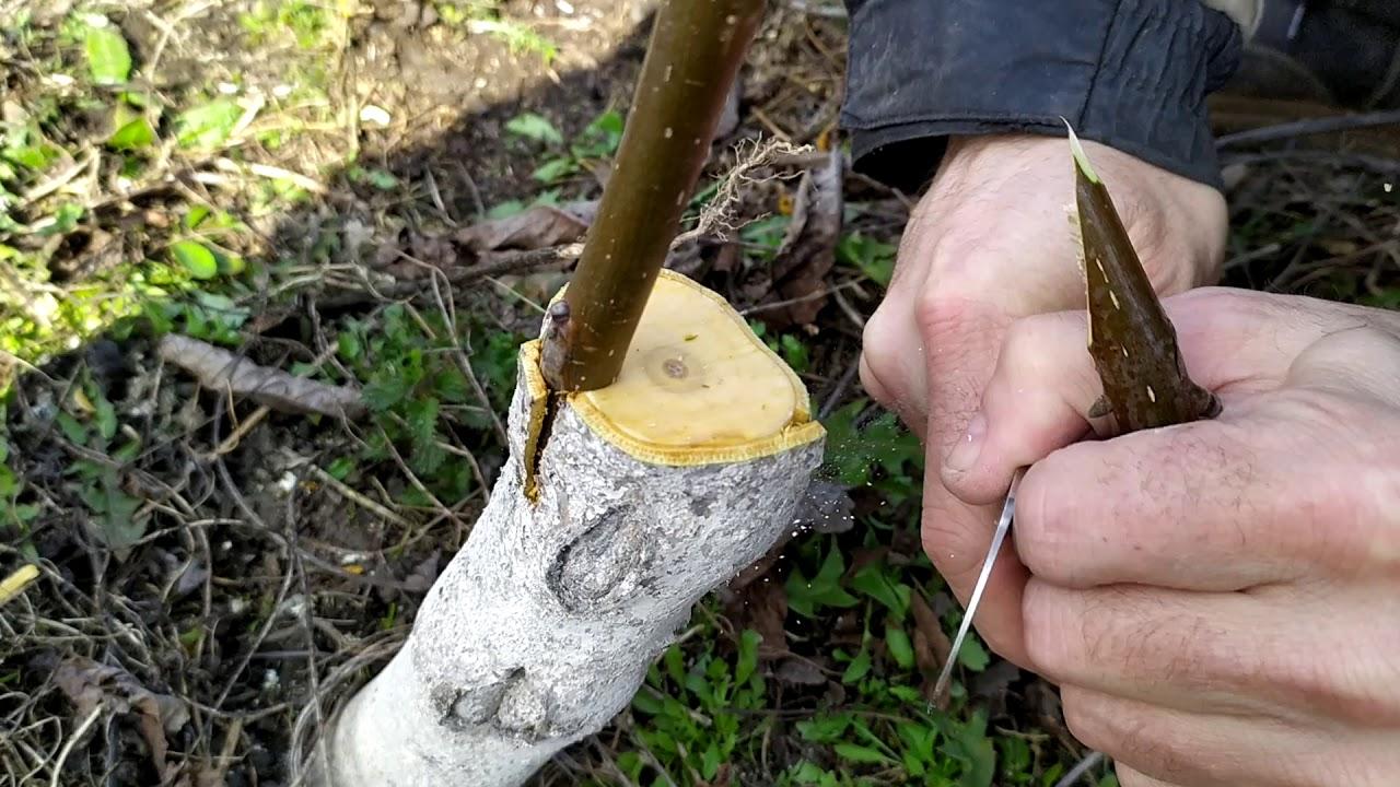 Прививка грецкого ореха летом и весной в домашних условиях с фото и видео