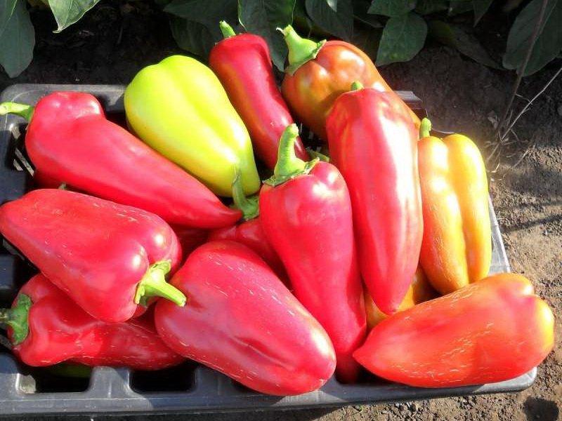 Перец сорта «подарок молдовы»: как выглядит, особенности выращивания