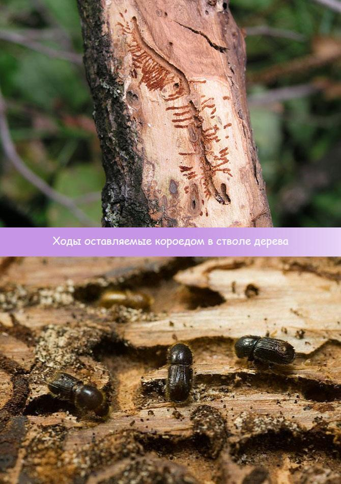 Как избавиться от короеда в саду, чем обрабатывать деревья?