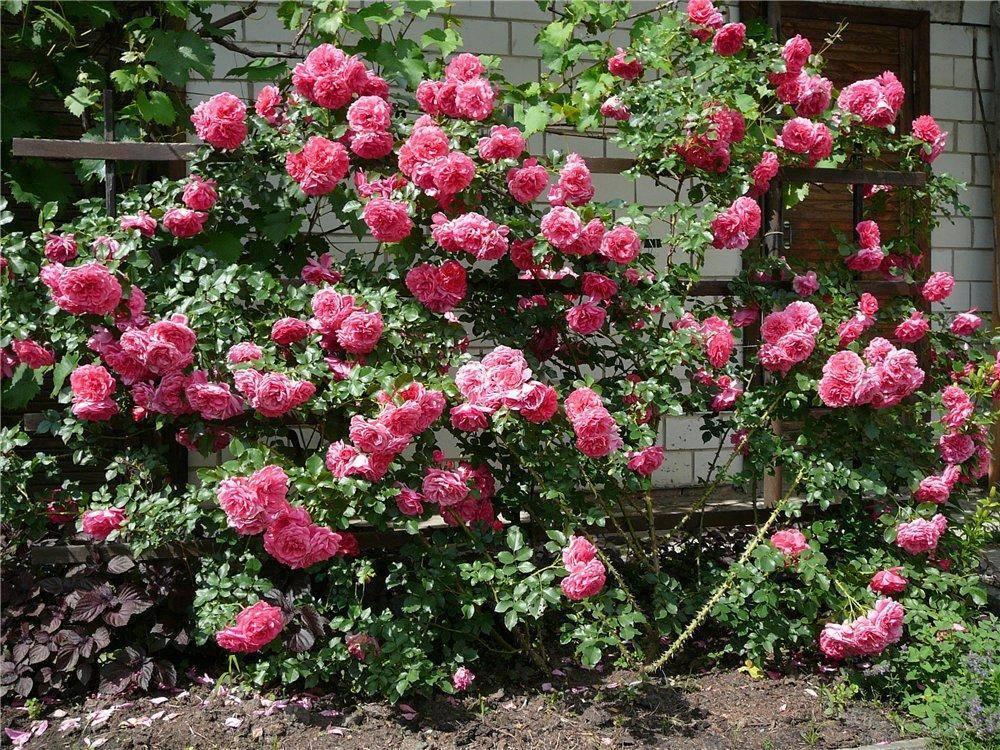 Роза розариум ютерсен: описание, фото и отзывы