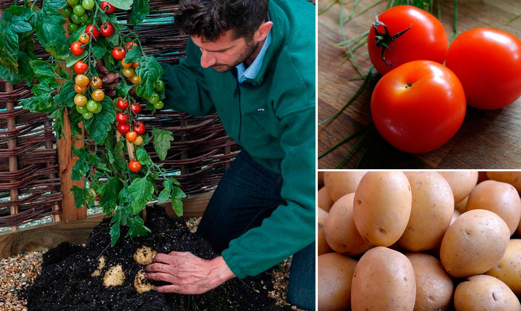 Как вырастить «помидофель»! - огород, сад, балкон - медиаплатформа миртесен