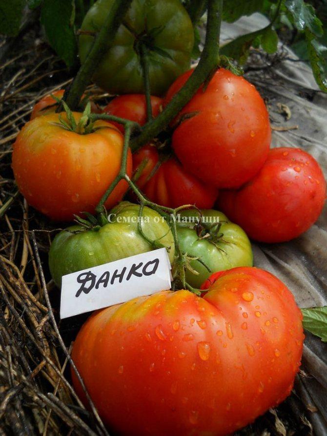 Томат данко: характеристика и описание сорта помидоров, фото кустов и плодов, отзывы тех, кто пробовал их выращивать