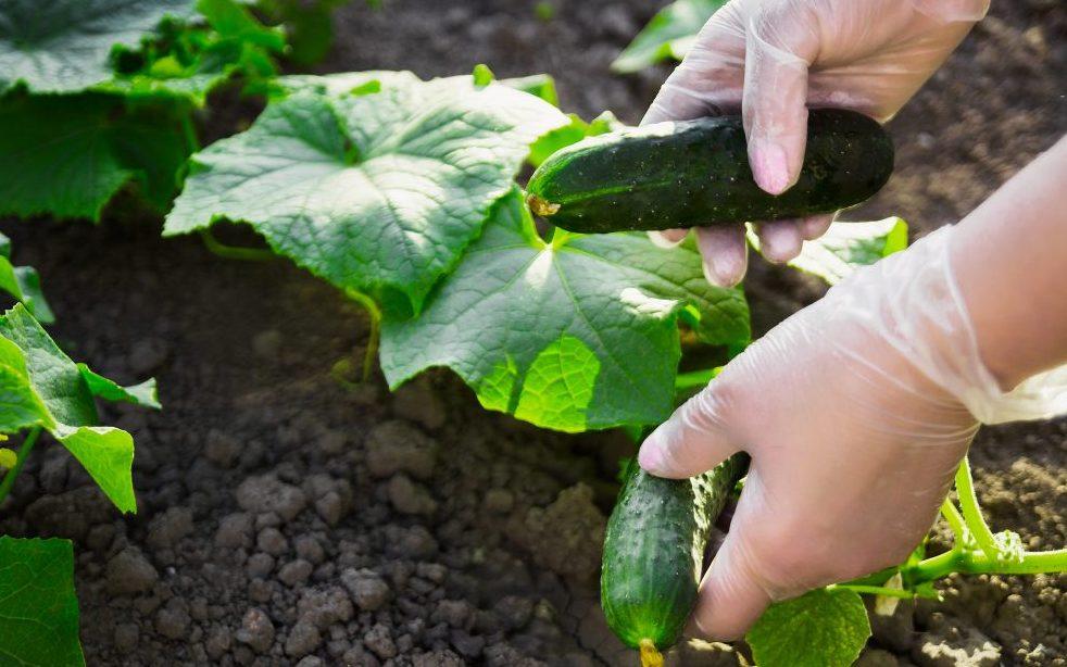 Узнаем, почему огурцы внутри пустые и как избавиться от этого, используем советы фермеров с опытом