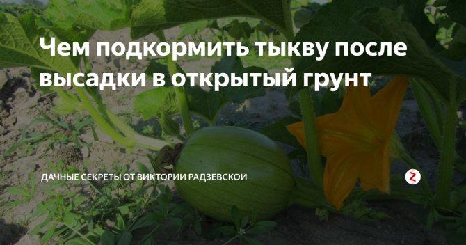 Подкормка тыквы в открытом грунте