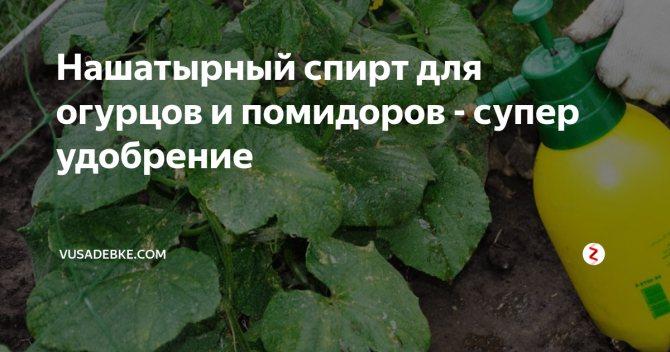 Подкормка рассады томатов и перца нашатырным спиртом: плюсы и минусы удобрения для выращивания помидор и других овощей в огороде русский фермер