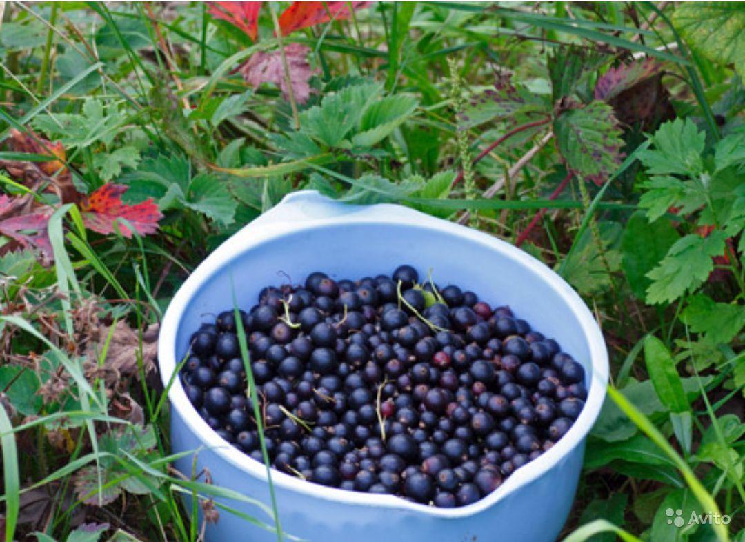 Когда собирать и как сушить смородиновые листья на зиму для чая