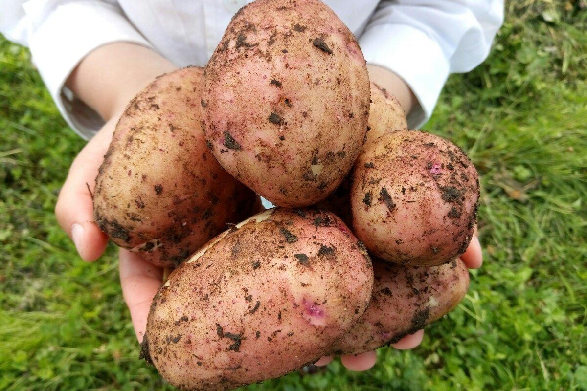 Лучшие сорта белого картофеля (с белой мякотью): описание и характеристика, фото
