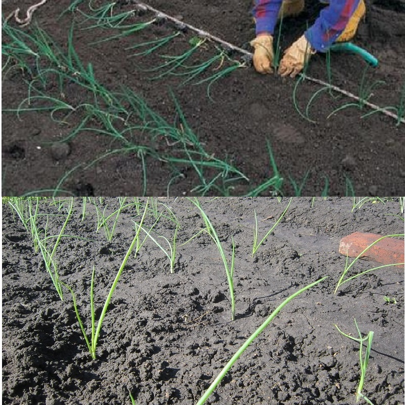 Рассада лука порея и сорта эксибишен: выращивание, характеристика и уход | садоводство и огородничество