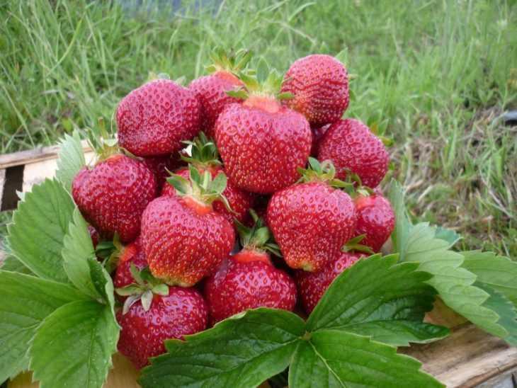 Описание клубники сорта Витязь и особенности выращивания