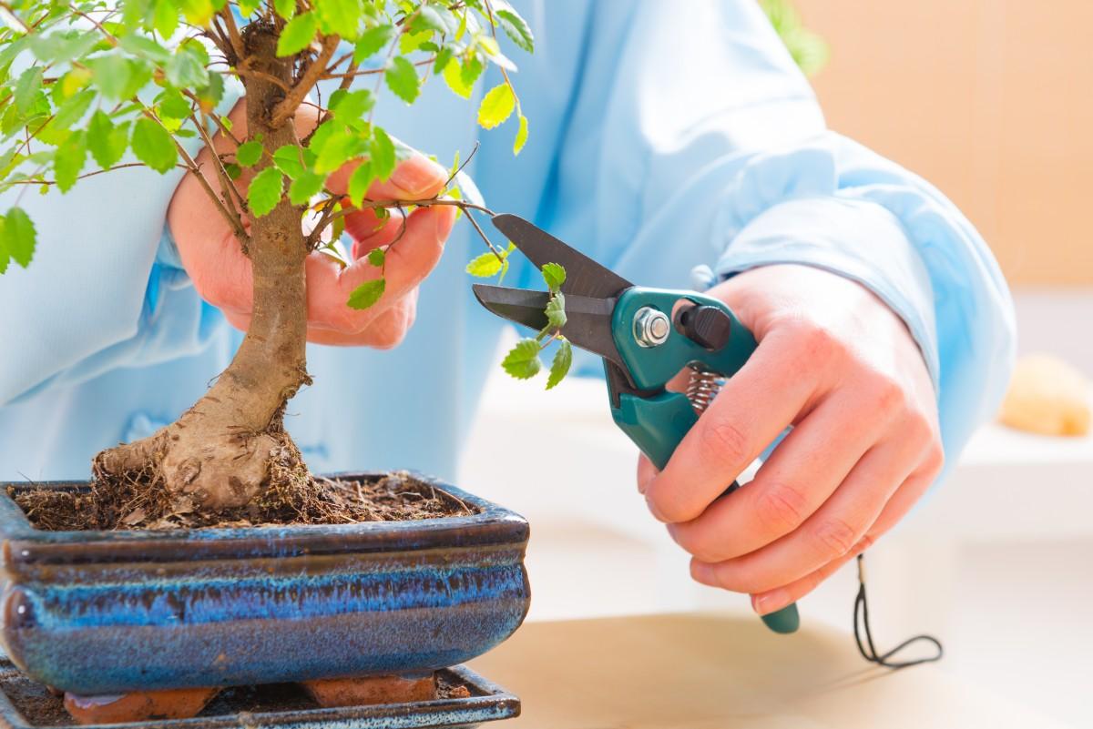 Как выращивать бонсай в домашних условиях?