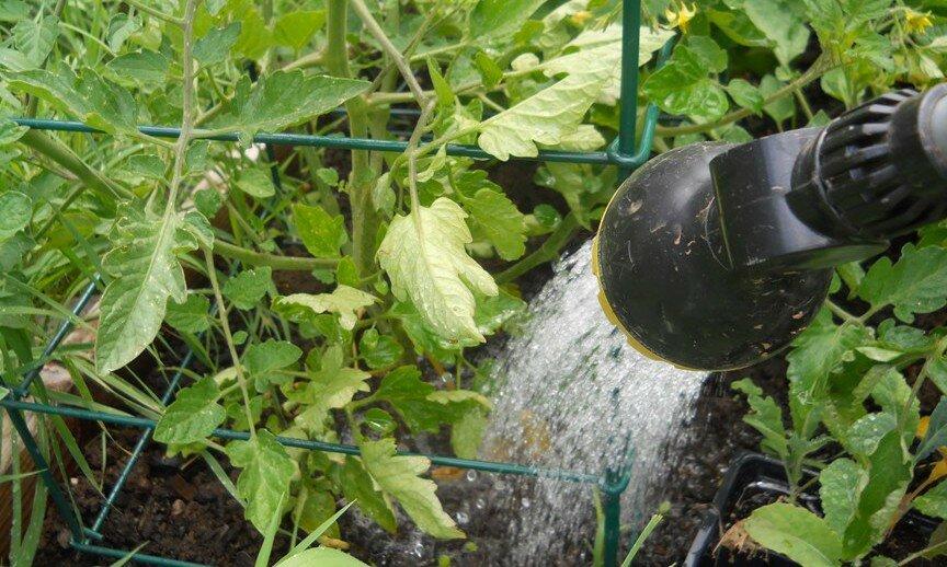 Полив тыквы в открытом грунте: как часто надо поливать тыкву в жаркую погоду