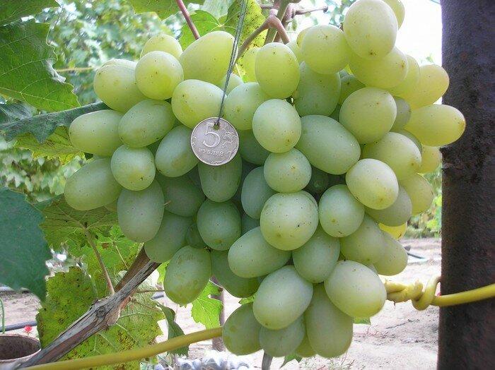 Описание винограда сорта подарок несветая, посадка и уход