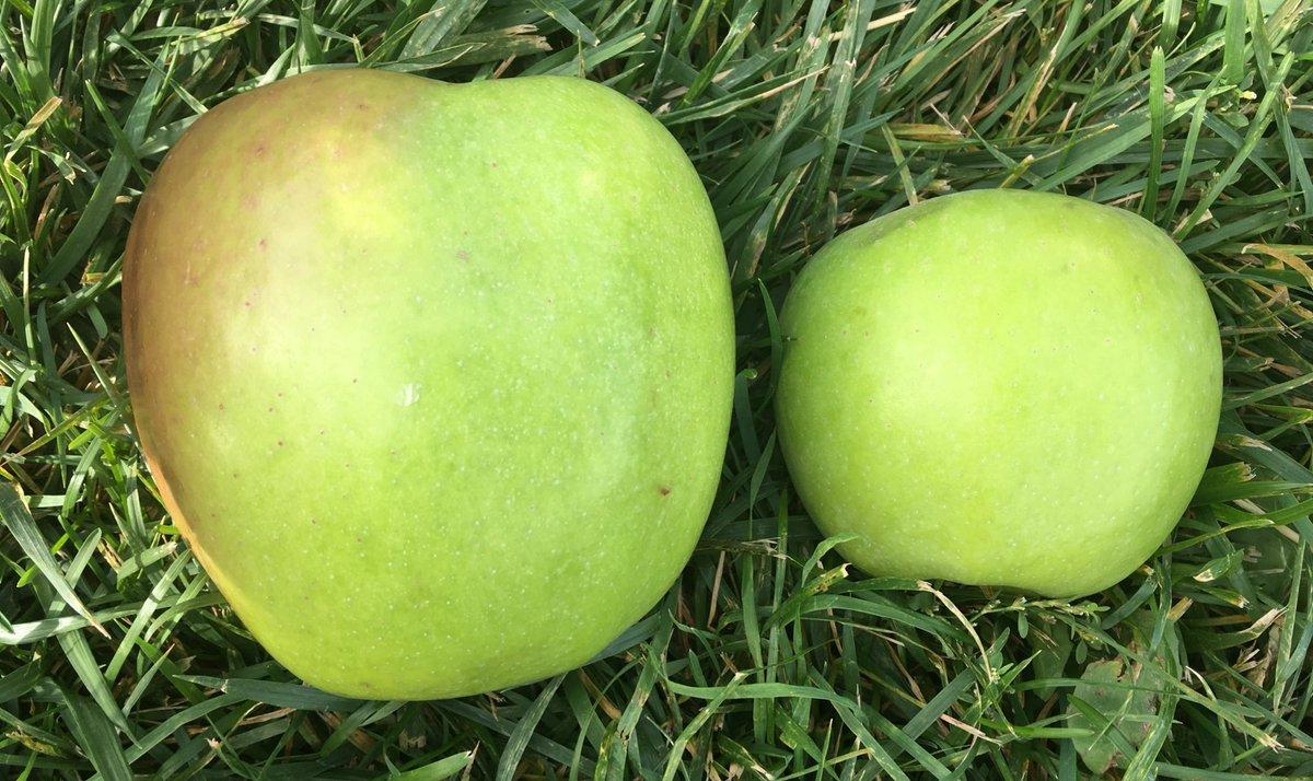 Описание сорта яблони макинтош: фото яблок, важные характеристики, урожайность с дерева