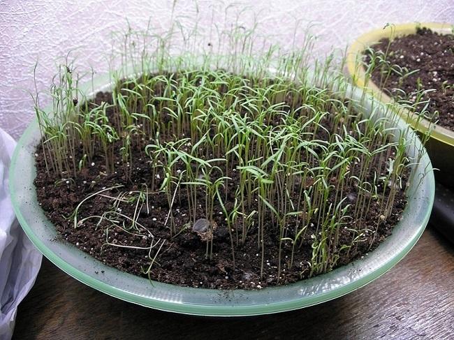 Почему не взошла морковь и что делать, как посадить чтобы быстро проросла