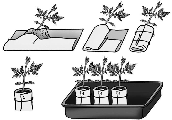 Посадка помидоров в улитку: фото, пошаговая инструкция по методу посева семян томатов, в том числе выращивание при помощи туалетной бумаги и пеленки русский фермер