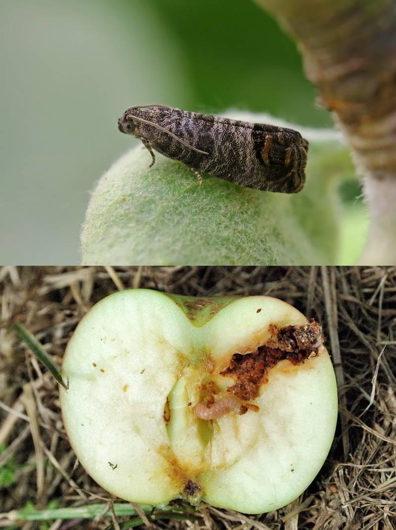 Минирующая моль: яблочная и каштановая selo.guru — интернет портал о сельском хозяйстве