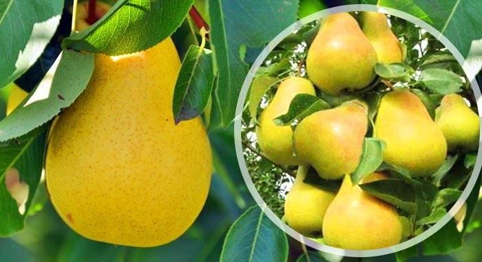 Колоновидная груша: описание лучших сортов, посадка, выращивание и уход с фото