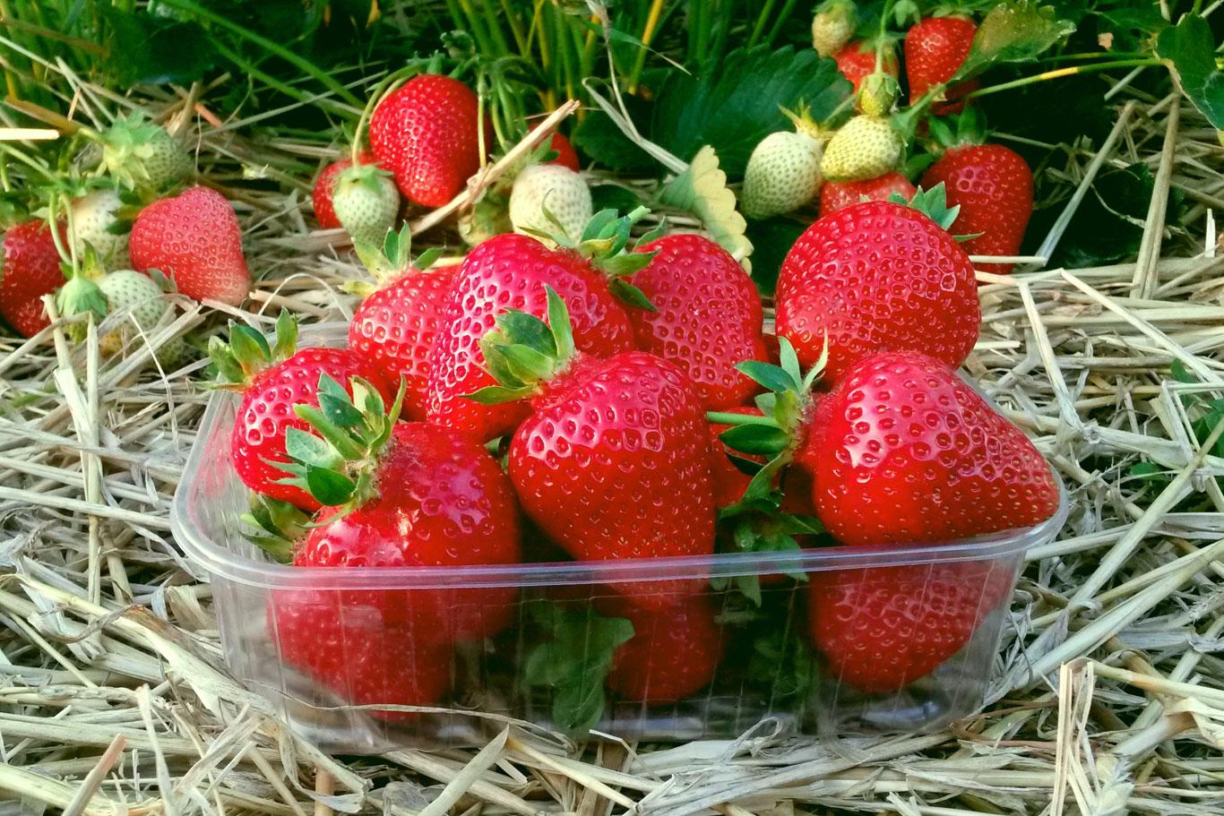 Клубника роксана — 85 фото, описание, отзывы, посадка и выращивание урожайного сорта