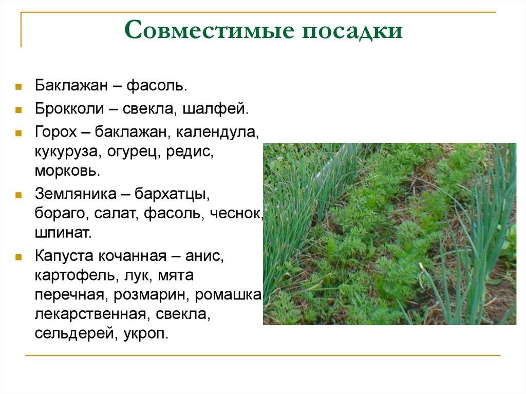 Что можно сажать рядом с петрушкой в открытом грунте на одной грядке, а что нельзя, после каких овощей разрешено выращивать зелень, в том числе на следующий год русский фермер