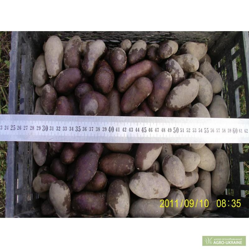 Цветной картофель: повелитель просторов, описание сорта, фото урожая и клубней, отзывы о вкусовых качествах, барон, бородянский розовый, как называется фаворит