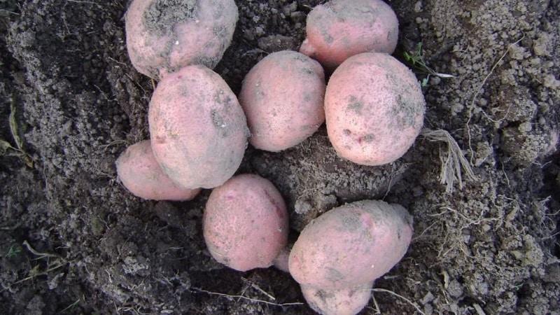 Описание сорта картофеля никулинский