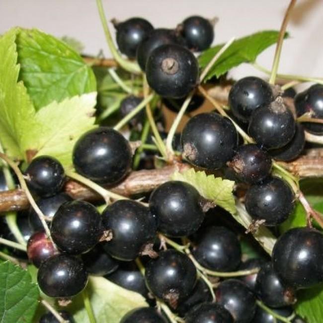 Смородина зеленая дымка: характеристики и описание сорта, сроки плодоношения и урожайность
