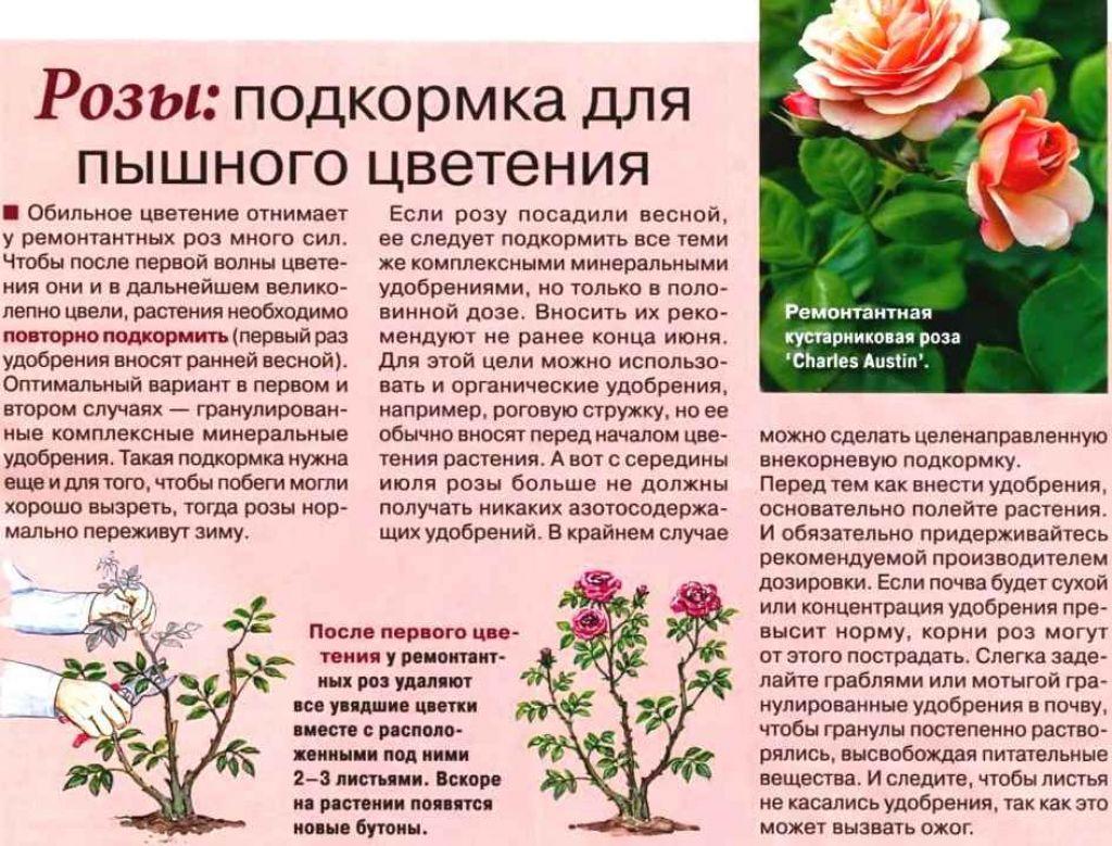 Подкормка роз весной: лучшие удобрения и правила