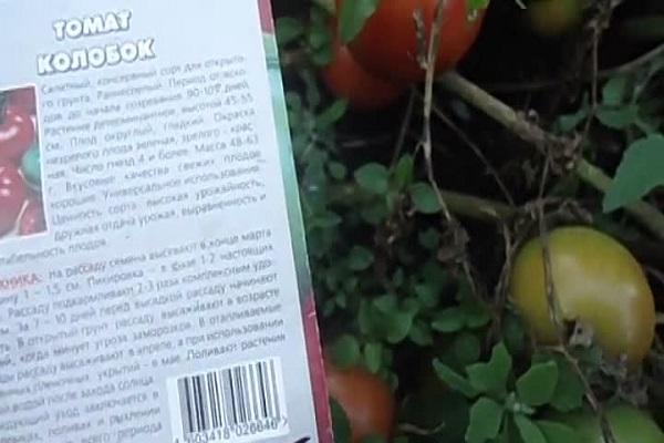 Томат яблонька россии: отзывы, фото, урожайность, описание и характеристика   tomatland.ru