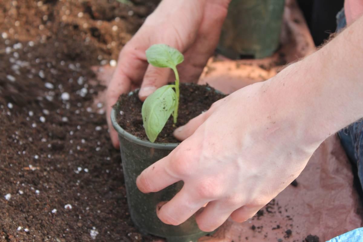 Базилик от посева на рассаду до цветения: пошаговый мастер-класс с фото