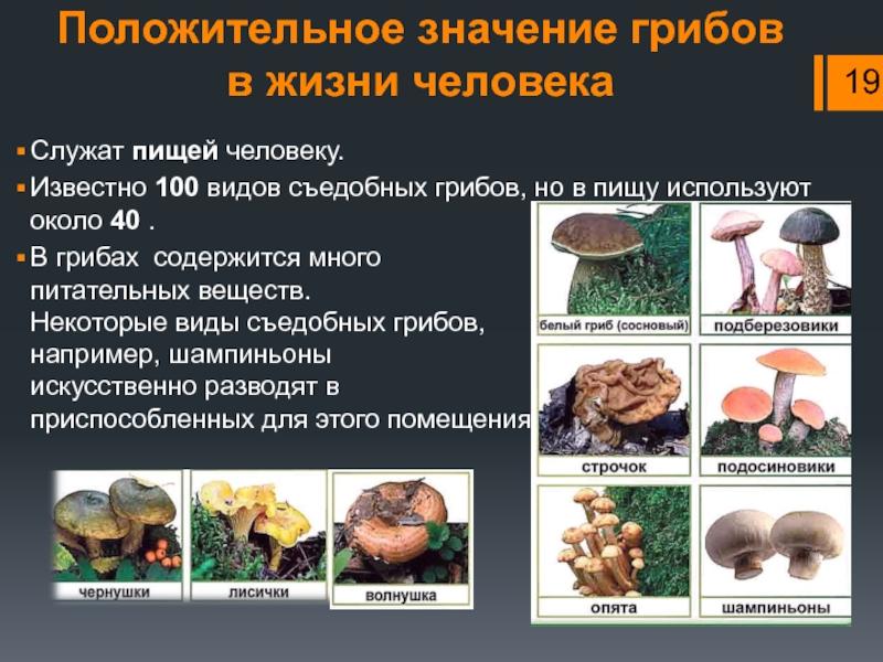 Цезарский гриб - описание, где растет, ядовитость гриба