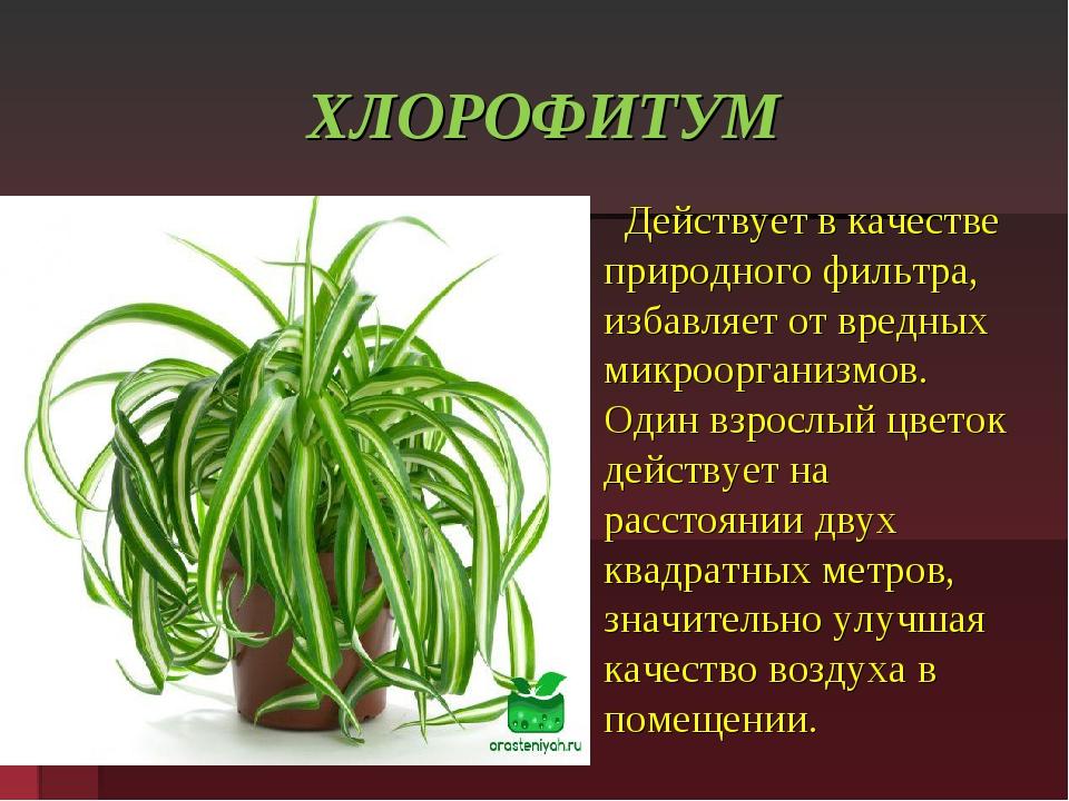 Цветок хлорофитум — фото, посадка, уход и размножение