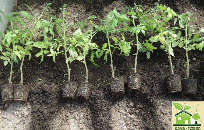 Практические рекомендации по выращиванию рассады помидоров из семян без пикировки в домашних условиях
