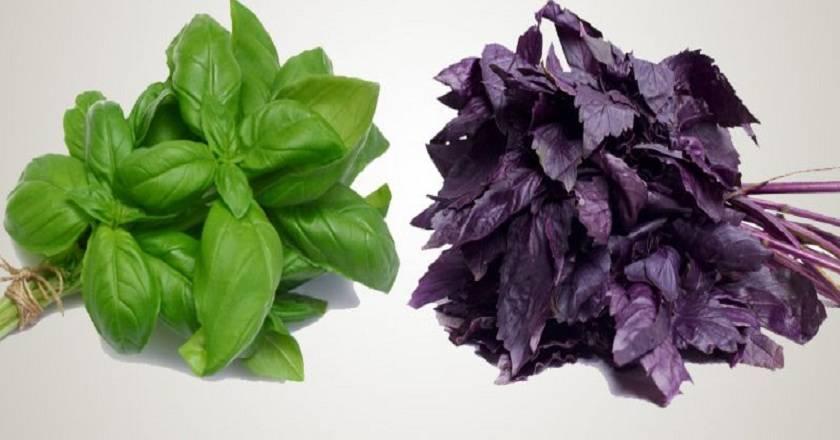 Фиолетовый и зеленый базилик: в чем разница?
