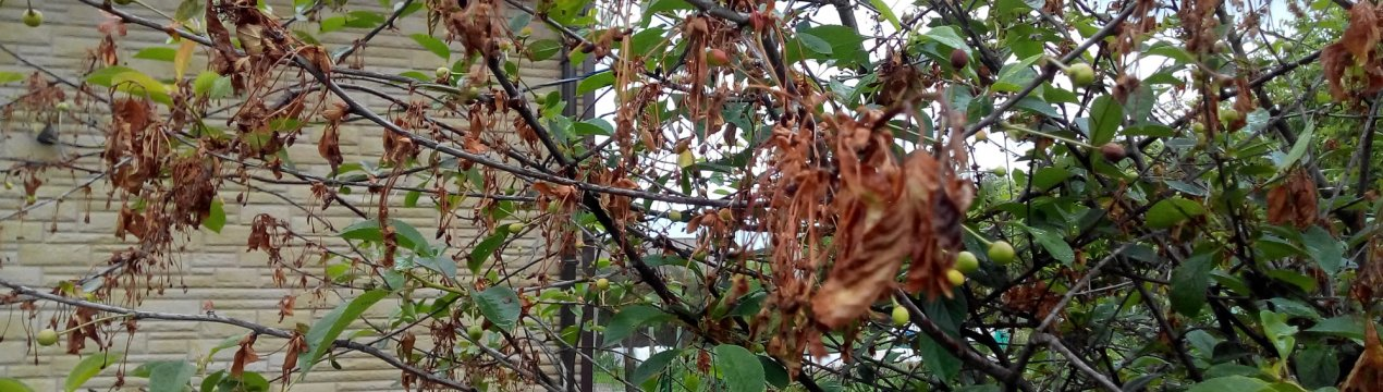 Монилиоз вишни – как лечить