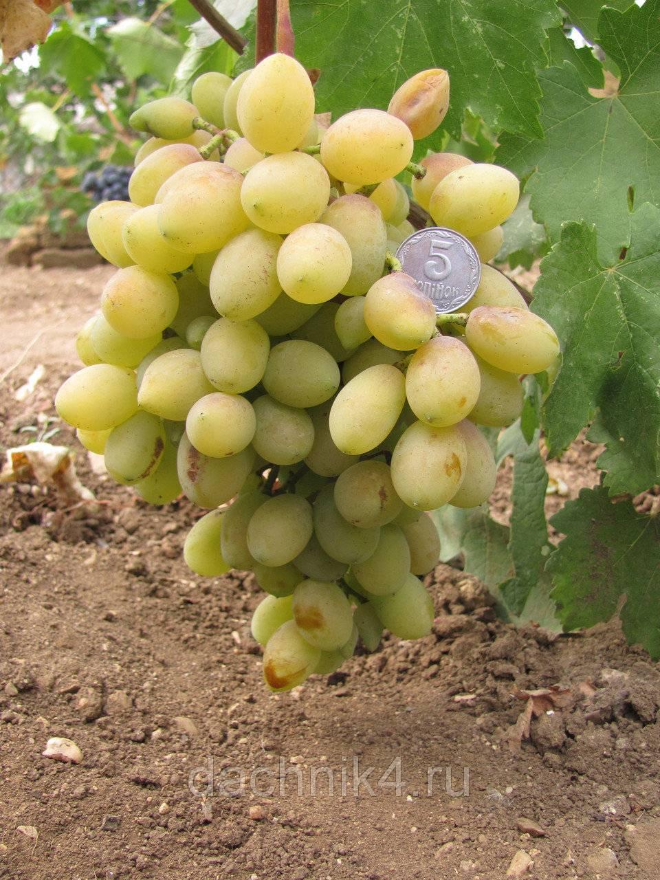 Виноград софия: селекция, описание, посадка и уход, достоинства, отзывы