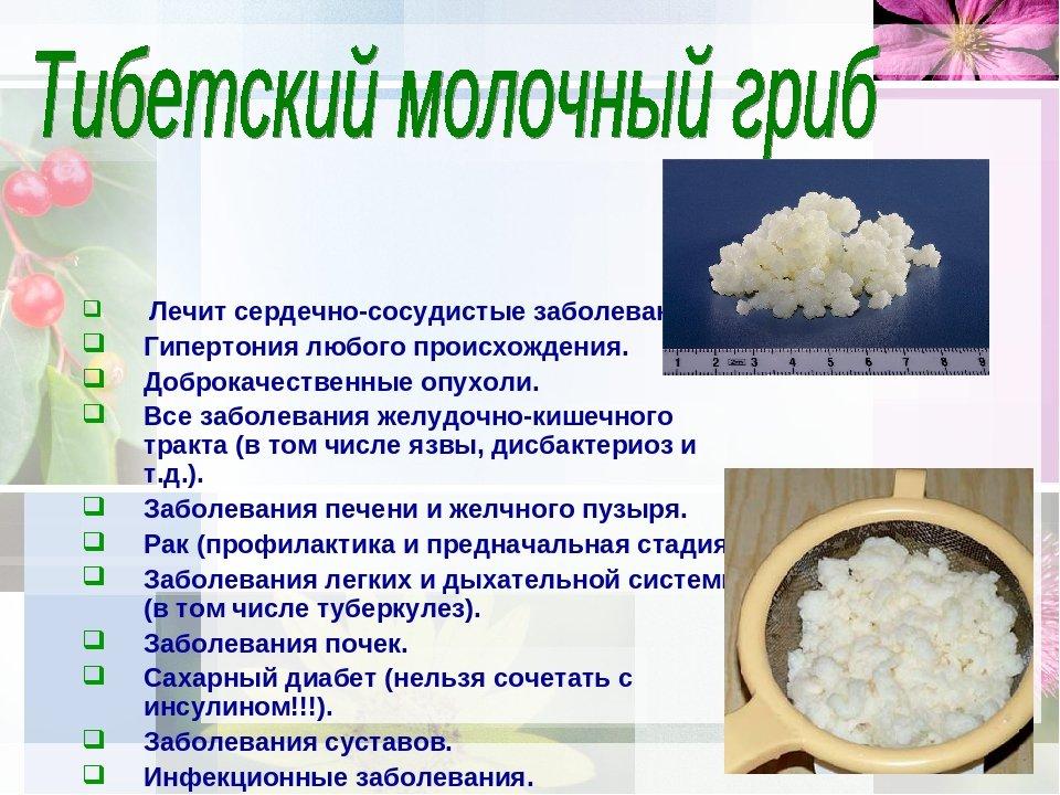 Молочный гриб: польза и вред, свойства, отзывы врачей, инструкция по применению