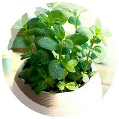 Как вырастить мяту в домашних условиях на подоконнике из семян