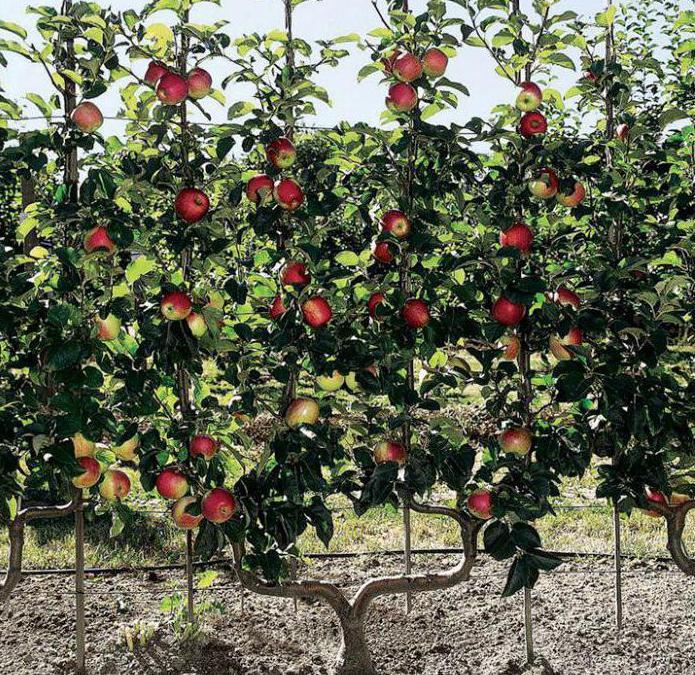 Выбор карликовых деревьев для посадки фруктового сада. правила посадки и ухода за плодовыми деревьями