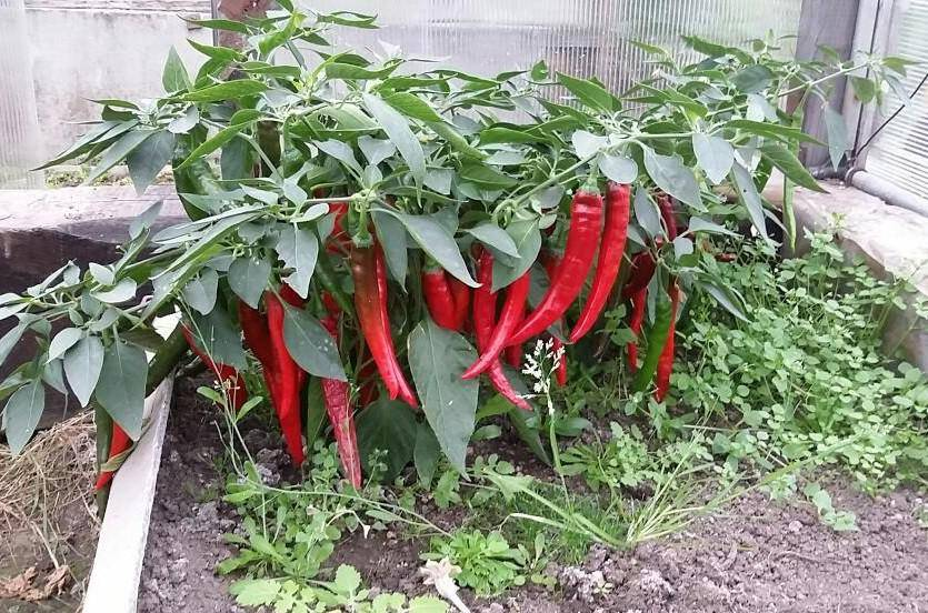 Выращивание горького перца в открытом грунте, особенности посадки