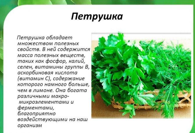 Петрушка — описание, выращивание, фото