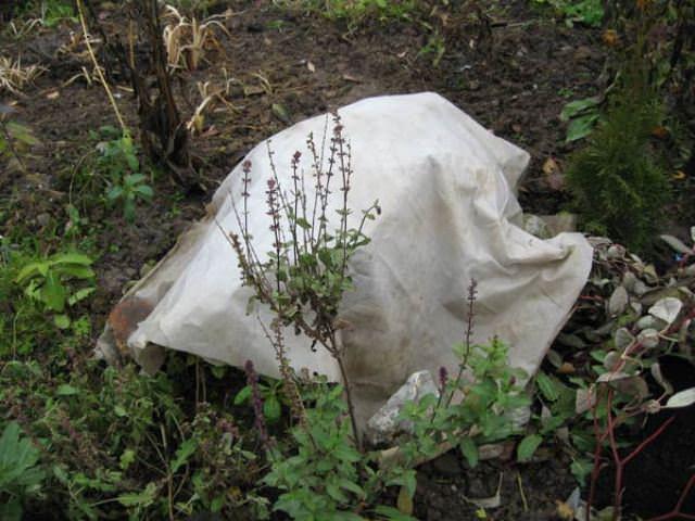 Подготовка пионов к зиме, укрытие и подкормка растений осенью, особенности ухода за пионами в регионах